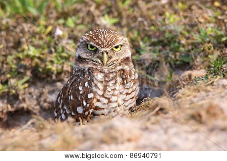 Burrowing Owl Standing On The Ground