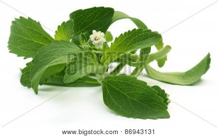 Stevia Leaves With Flower