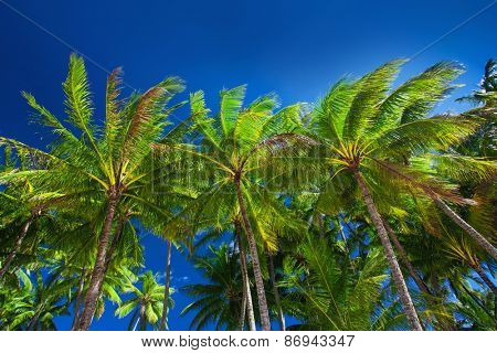 Palm tree forest against the blue sky in Australia