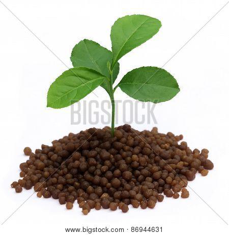 Plant In Diammonium Phosphate Fertilizer