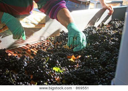 Sorting Pinot Noir Grapes