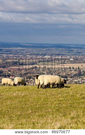 Sheep grazing on the South Downs