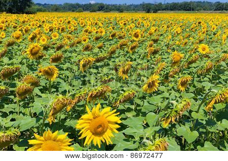 Field With Sunflowers In France