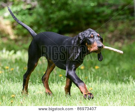 black and tan coonhound playing fetch with a stick