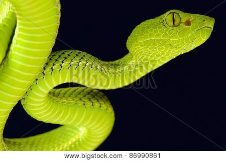 """The Siamese Peninsula Pitviper (Popeia fucata) is an nocturnal tree snake species able to """"see"""" with the use of their heat pits. poster"""