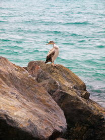 Large shearwater perched on rocks.