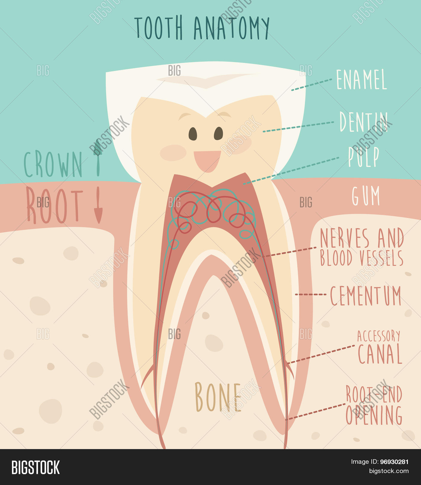 Tooth Anatomy Funny Vector Photo Free Trial Bigstock