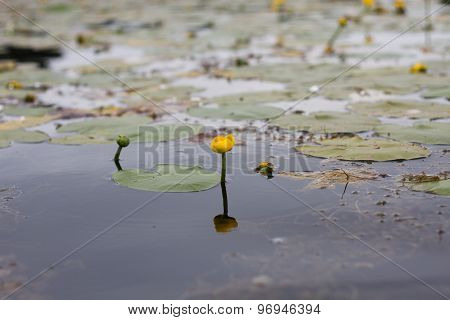 Potbelly Yellow Water Flower