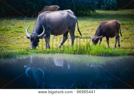 Asia Buffalo In Grass Field At Thailand