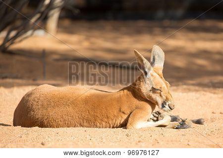 Sleepy Kangaroo
