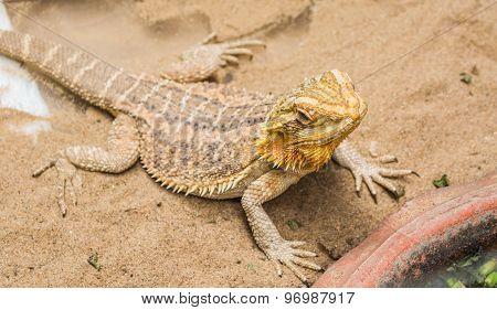 Bearded Dragon On Sand