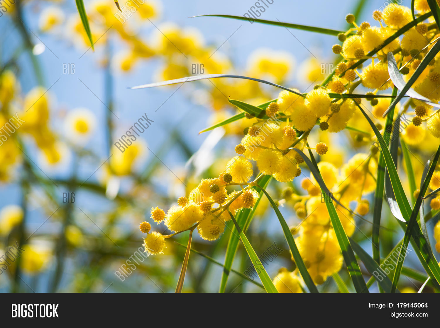 Blossoming mimosa tree image photo free trial bigstock blossoming of mimosa tree acacia pycnantha golden wattle close up in spring mightylinksfo