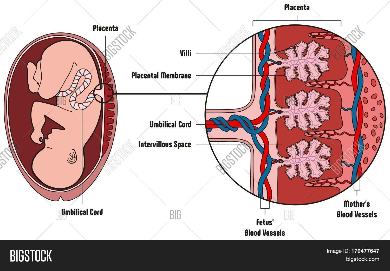 Human Fetus Placenta Image & Photo (Free Trial)   Bigstock