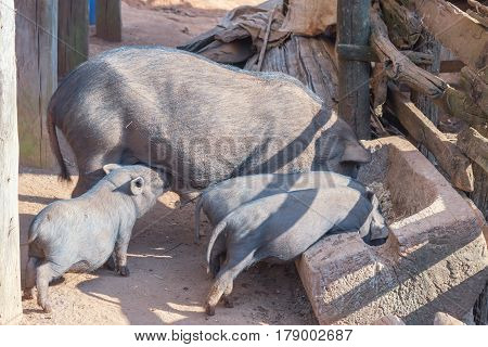 Pig With Dirty Snout Digs The Ground Rural Countryside.; Resting Piglet On Farm.; Village Scene With