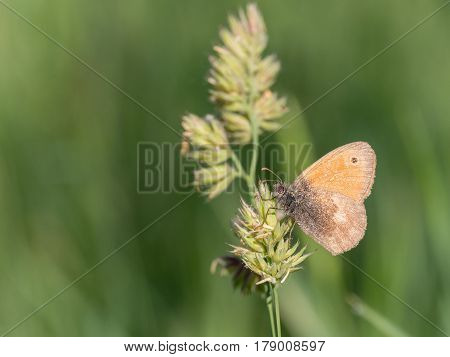 Small Heath Coenonympha pamphilus, nature animal close up