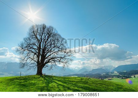 Solitary big bald tree standing alone in a field in springtime against a blue sky with sun, clouds and snow covered mountains.