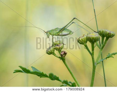 Sickle-bearing bush-cricket Phaneroptera falcata, nature animal close up