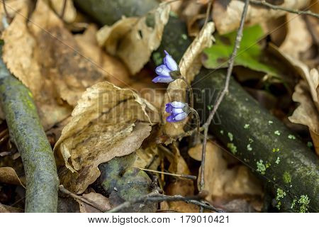 Violet In Forest