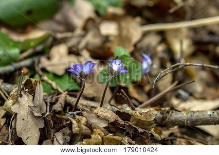 Violet In Spring