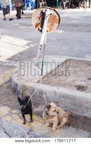 Two little dogs sit on a leash and waiting for master. Early morning in Marsaxlokk Malta.
