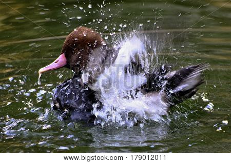 A Pochard duck joyfully flapping it's wings through the water.