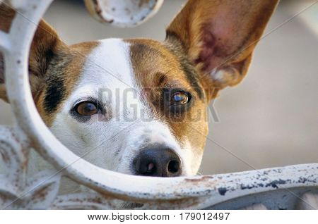 A close-up of a Jack Russel Terrier looking over a chair.
