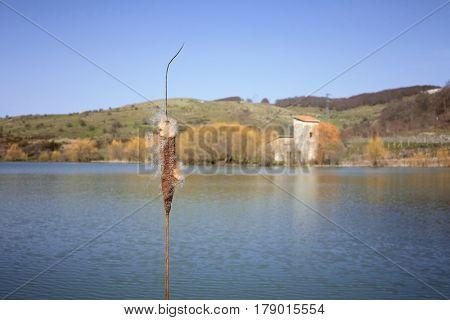 mature spike of Typha Latifolia on Cartolari Lake in Nebrodi Park, Sicily