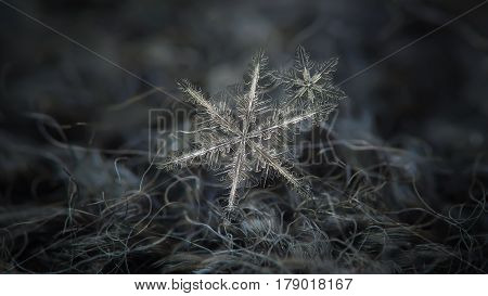 Macro photo of real snowflakes: flat cluster with two snow crystals of stellar dendrite type. Both snowflakes have similar structure: elegant shape with six thin, long arms and many side branches and small icy