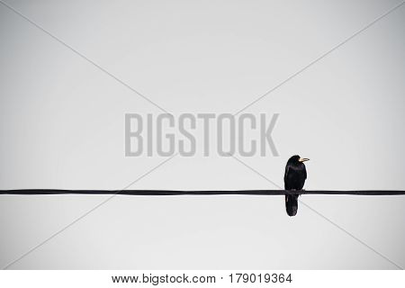 Crow Looking right on a Cable wire. Solid sky background.