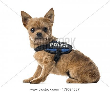 Mixed breed dog with a police security jacket sitting , isolated on white