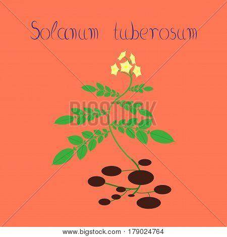 flat illustration on stylish background plant Solanum