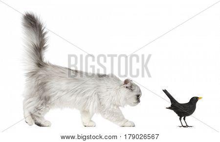 Persian kitten looking at Blackbird, isolated on white