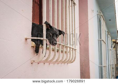 Little black puppy sitting in the window and looking through window bars out on the street