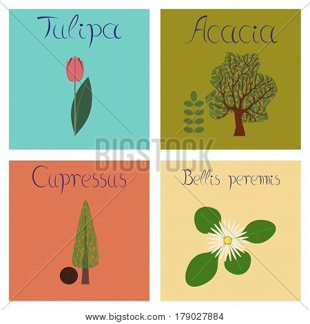 assembly of flat Illustrations nature Cupressus Acacia Bellis Tulipa