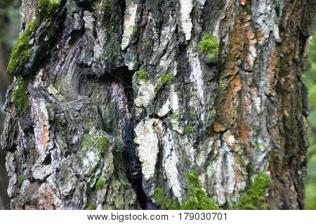 The Moss On The Trunk Of The Birch Macro Background