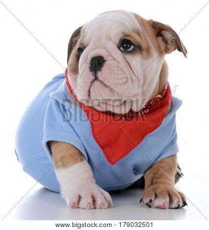 male bulldog puppy wearing shirt and bandanna on white background