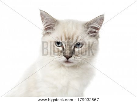 Close-up of a Ragdoll kitten, 3 months old, isolated on white