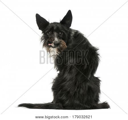 Rear view of a Mixed breed dog sitting and looking backwards, isolated on white