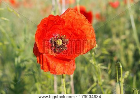 Picture of a beautiful red poppies in the meadow on summertime