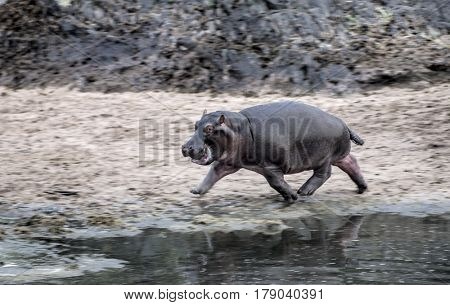 Hippopotamus walking, in Serengeti National Park