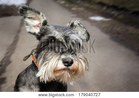 Miniature schnauzer dog close up on the pathway