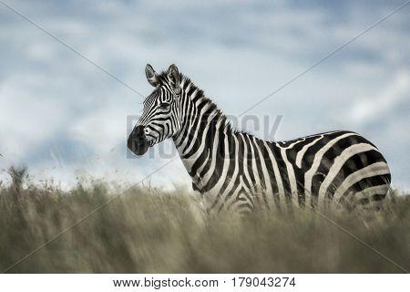 Zebra in the wild savannah, Serengeti, Africa