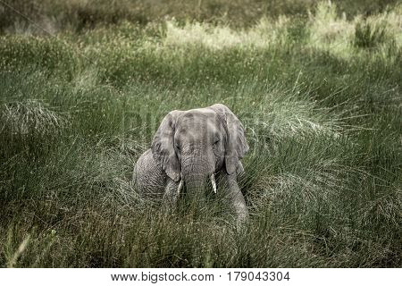 Elephant lying in Serengeti National Park