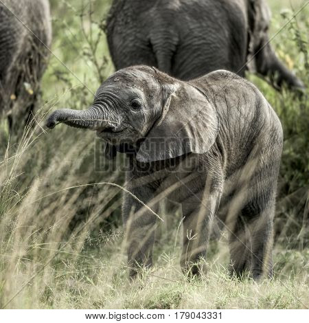 Calf elephant in Serengeti National Park
