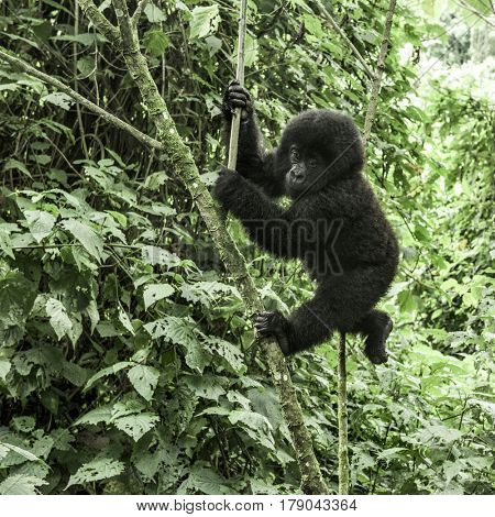 Young mountain gorilla in the Virunga National Park, Africa, DRC, Central Africa.