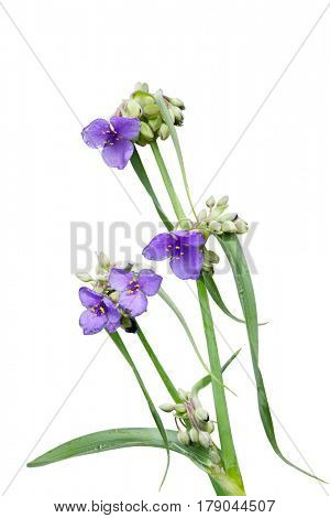Purple Spiderwort (Tradescantia virginiana) wildflower plant isolated on white background
