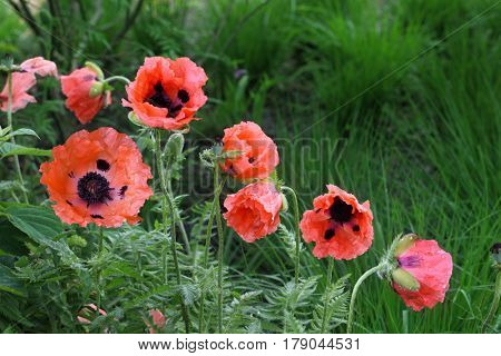 Salmon color Poppy flower plants in the garden summer time