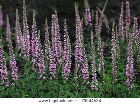 Pink Veronica  Speedwell  sunny border blue wild flower field