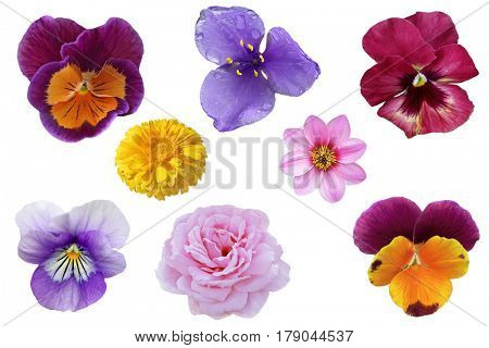 Set of tricolo pansies hybrid flower head isolated on white