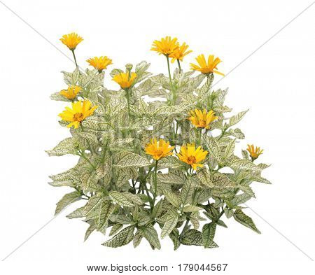 Yellow loraine sunshine heliopsis Helhan flower plant  silver leaf with dark green veining, isolated on white background